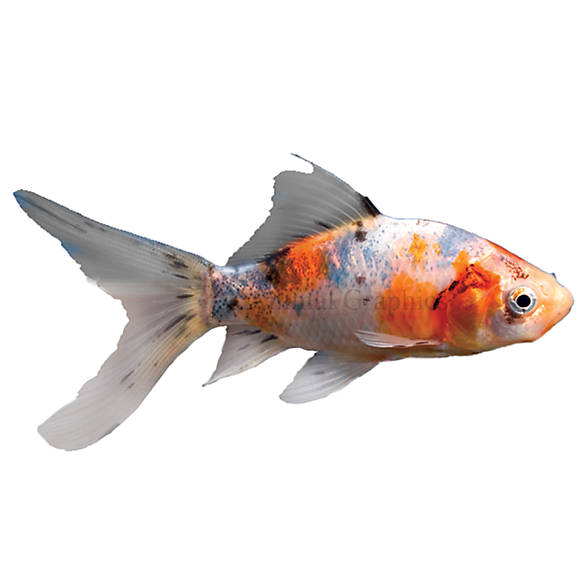 Shubunkin goldfish fish goldfish betta more petsmart for What fish can live with goldfish