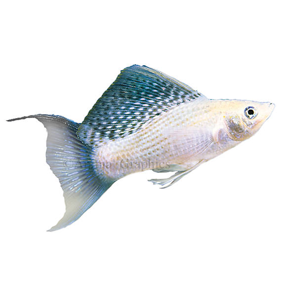 Silver lyretail molly fish goldfish betta more petsmart for How much are fish at petsmart