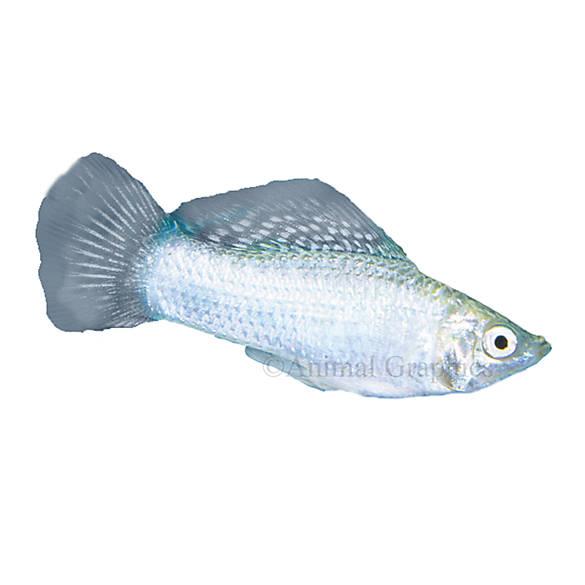 Silver molly fish goldfish betta more petsmart for Betta fish at petsmart
