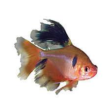 Red minor tetra fish goldfish betta more petsmart for Petsmart betta fish price