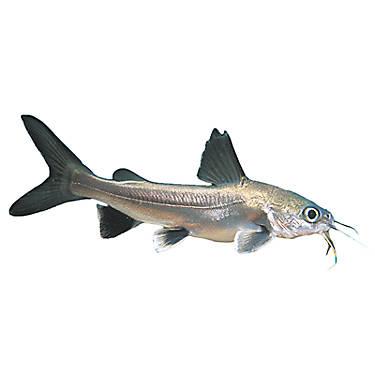 Silver Tipped Shark Fish Goldfish Betta More Petsmart