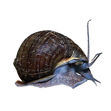 Black mystery snail fish goldfish betta more petsmart for Petsmart betta fish price