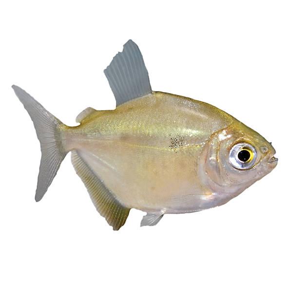 silver dollar fish goldfish betta more petsmart