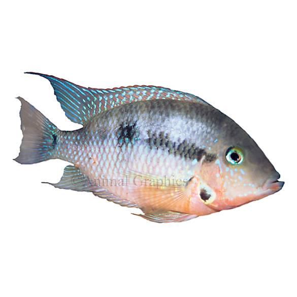 Firemouth cichlid fish goldfish betta more petsmart for Betta fish at petsmart