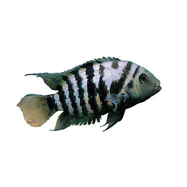 Black convict cichlid fish goldfish betta more petsmart for Petsmart live fish