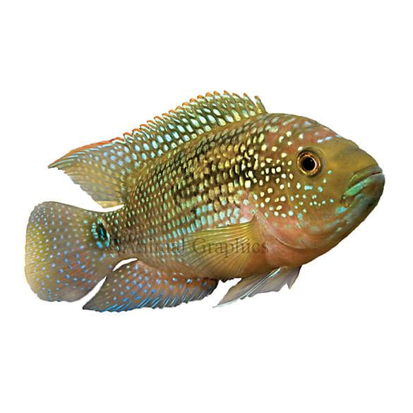 Jack dempsey cichlid fish goldfish betta more petsmart for Petsmart live fish