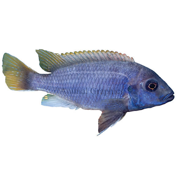 Acei cichlid fish goldfish betta more petsmart for Betta fish petsmart