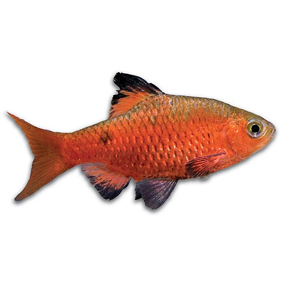 rosy barb fish goldfish betta more petsmart