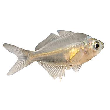 Glass fish fish goldfish betta more petsmart for Betta fish petsmart