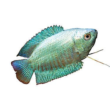 Dwarf gourami fish goldfish betta more petsmart for Betta fish petsmart