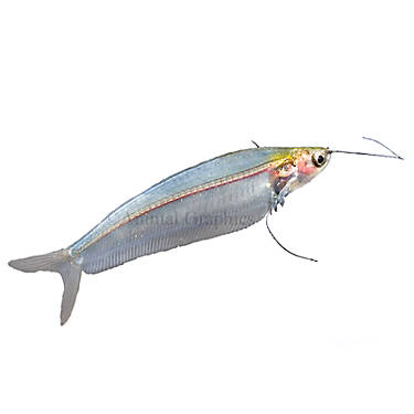 Aquarium Catfish Care Sheet & Supplies | PetSmart