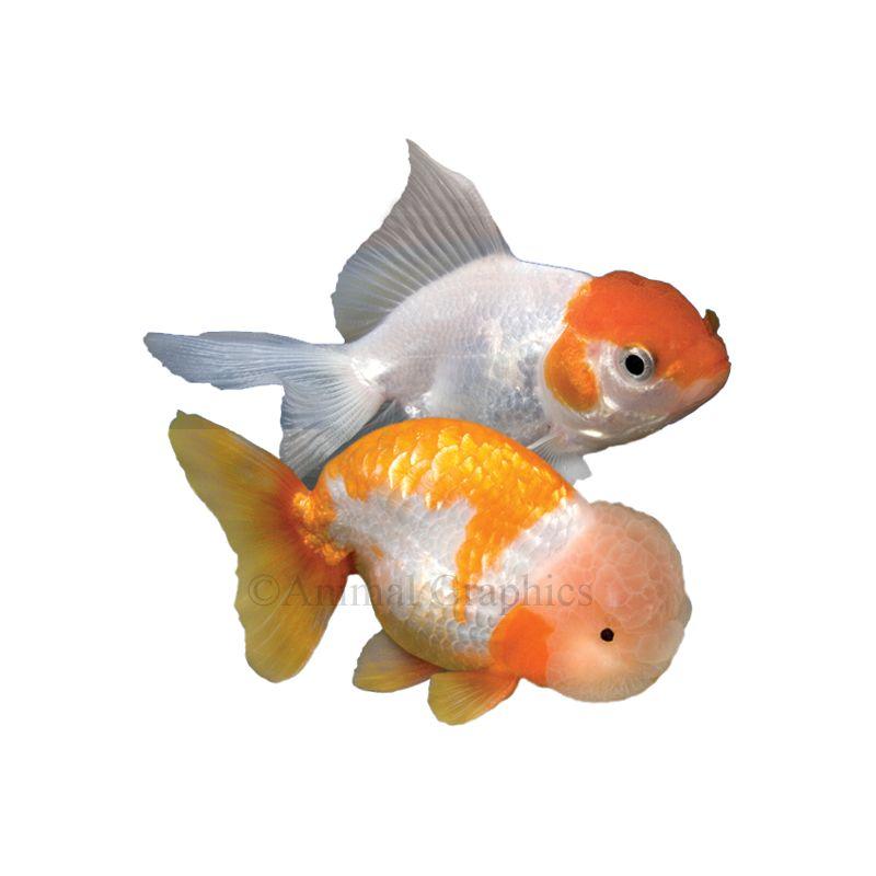 Fancy Goldfish Fish Goldfish Betta More Petsmart