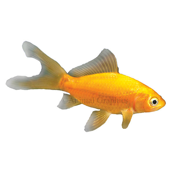 Comet goldfish fish goldfish betta more petsmart for How much are fish at petsmart