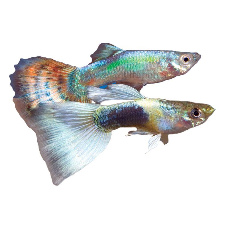 Fancy Guppy Fish Goldfish Betta More Petsmart