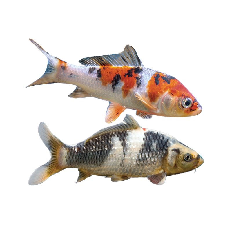 Koi Fish For Sale Live Pet Fish Petsmart