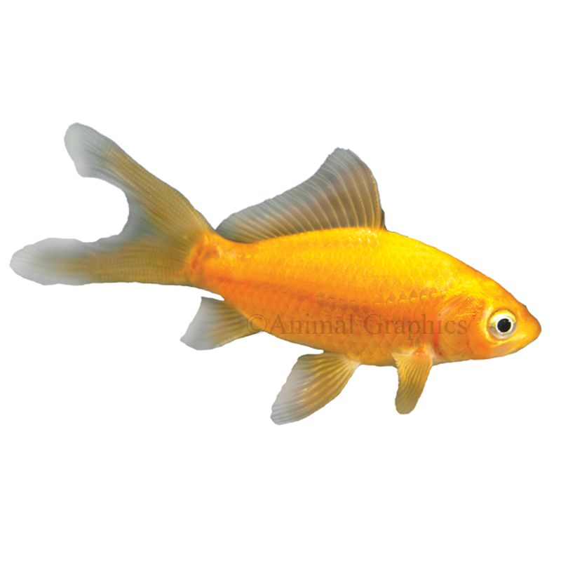 Comet Goldfish Fish Goldfish Betta More Petsmart
