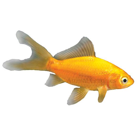 Comet goldfish fish goldfish betta more petsmart for Petsmart live fish