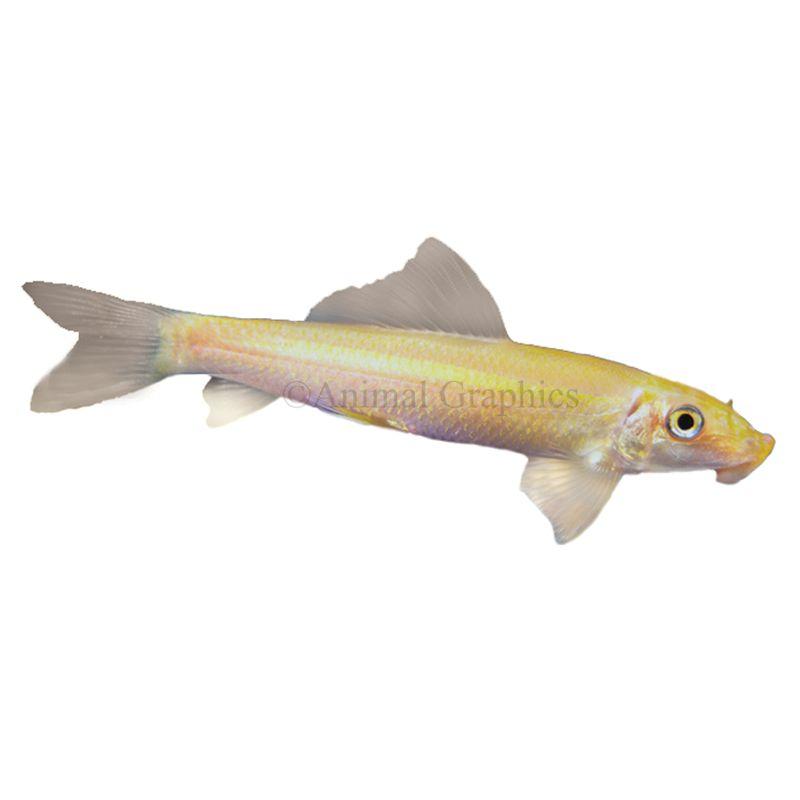 Algae Eater Fish Goldfish Betta More Petsmart