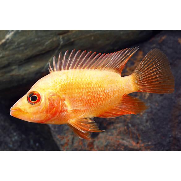 Red devil cichlid fish goldfish betta more petsmart for Red devil fish