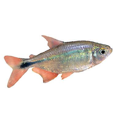 Buenos aires tetra fish goldfish betta more petsmart for Betta fish at petsmart
