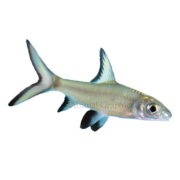 Bala shark fish goldfish betta more petsmart for How much are fish at petsmart