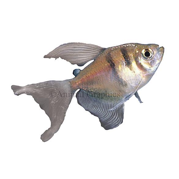 Long finned skirt tetra fish goldfish betta more for Petsmart betta fish price