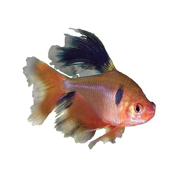 Long fin red minor tetra fish goldfish betta more for How long can a betta fish live