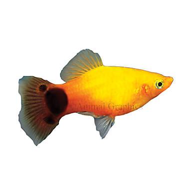 Sunburst mickey mouse platy fish goldfish betta more for Petsmart live fish