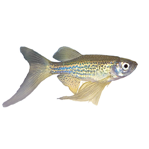 Long finned gold zebra danio fish goldfish betta more for Can betta fish live with other fish