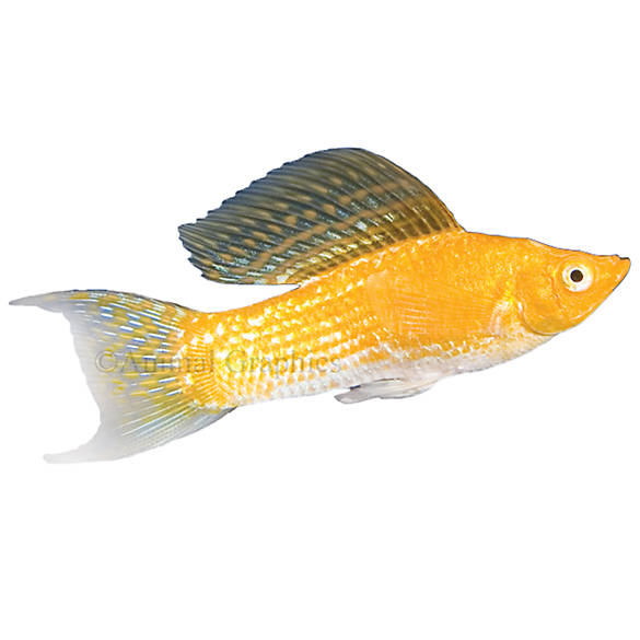 Cremecicle lyretail molly fish goldfish betta more for Betta fish water temp