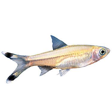 Scissortail rasbora fish goldfish betta more petsmart for How much are fish at petsmart