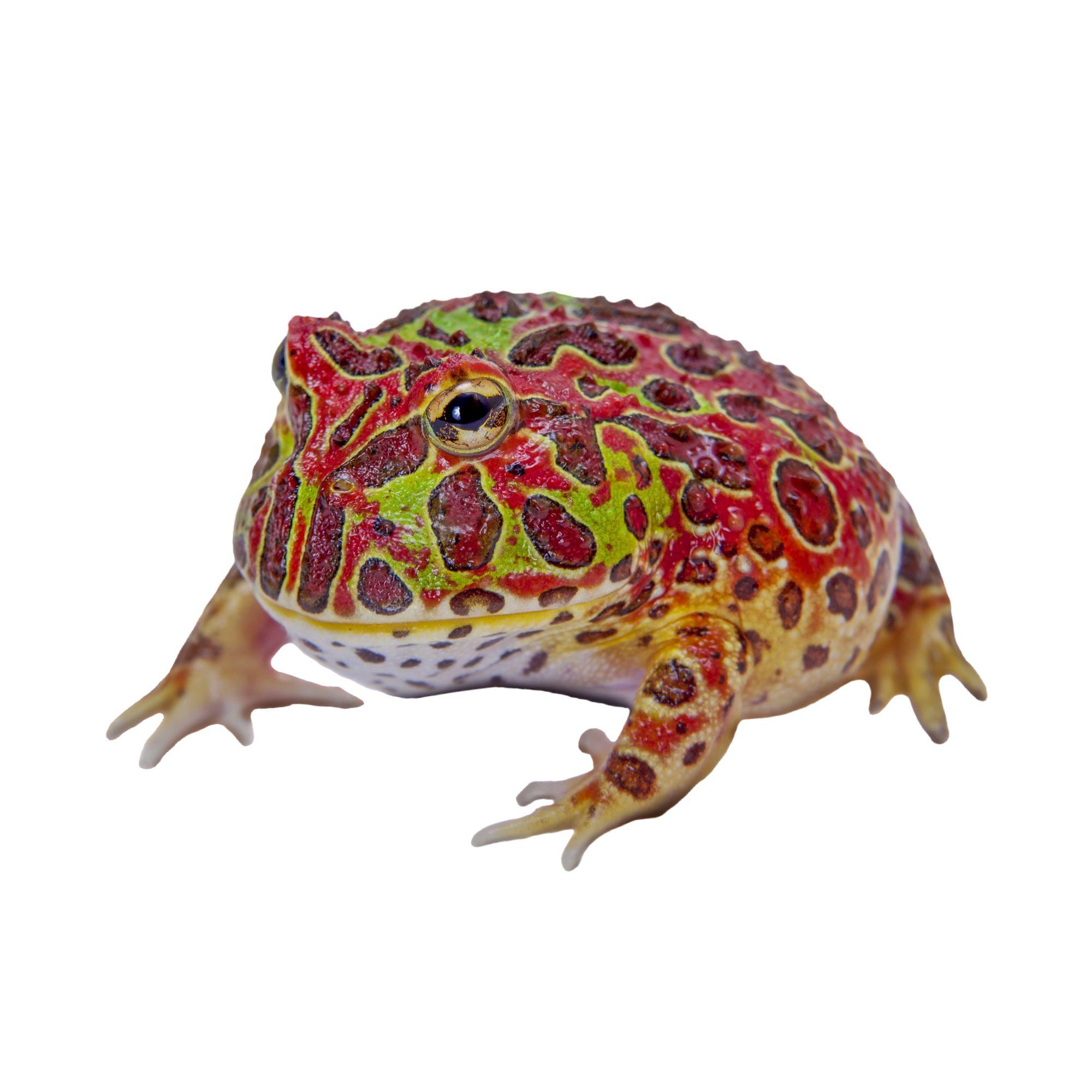 Pacman Frog Reptile Snakes Turtles More Petsmart