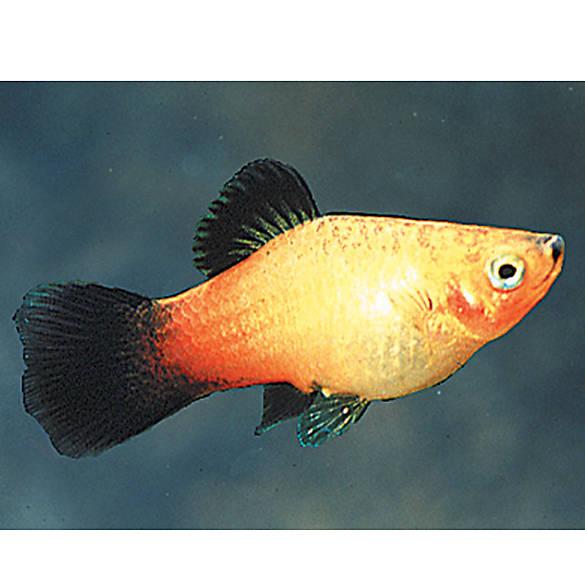 Sunburst wag platy fish goldfish betta more petsmart for Betta fish petsmart