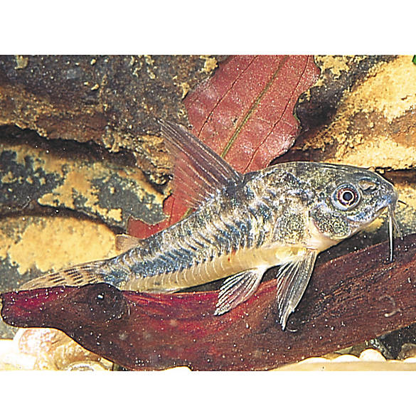 Cory catfish fish goldfish betta more petsmart for How much are fish at petsmart