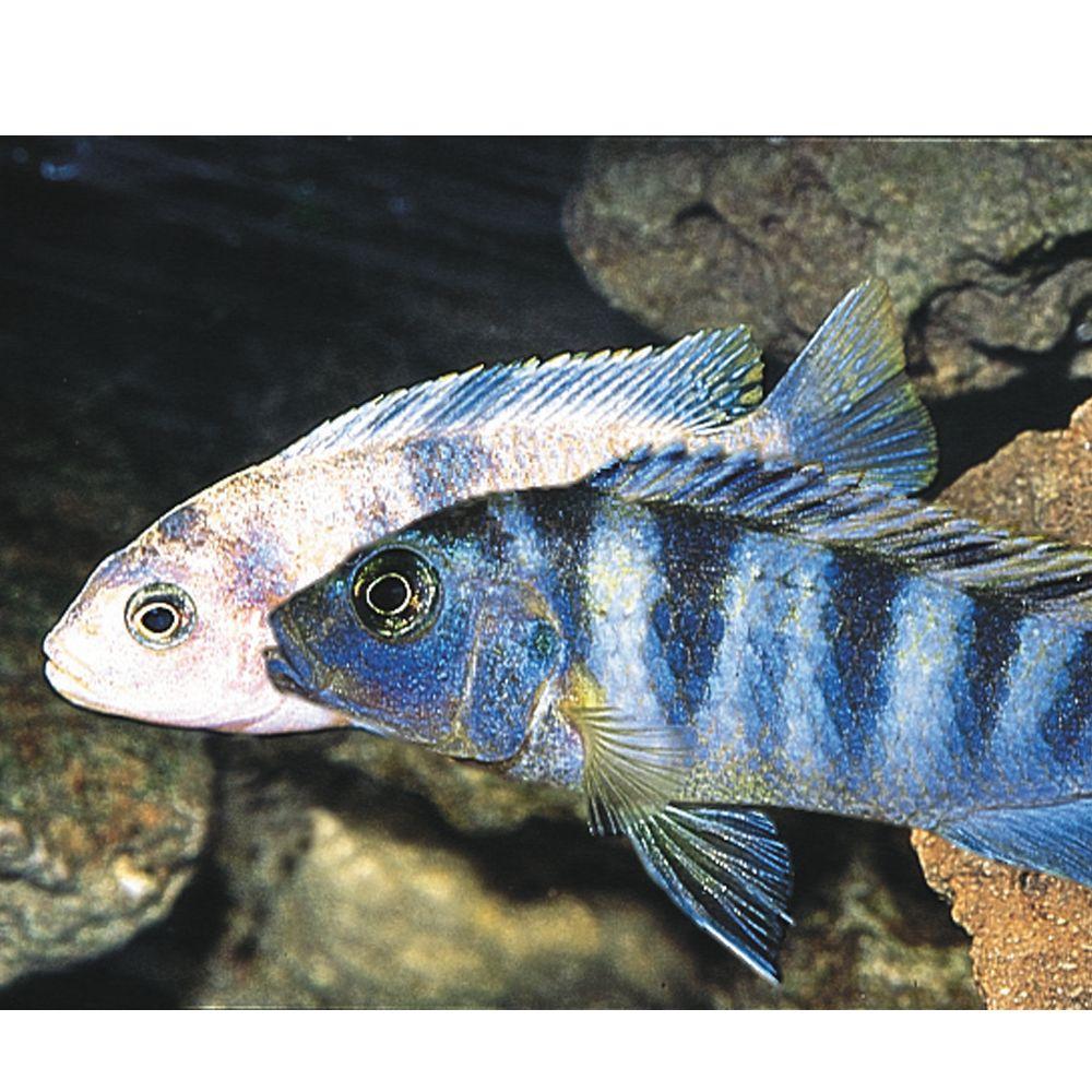 African Cichlid Fish Goldfish Betta More Petsmart