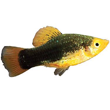 Redtailed black variatus fish goldfish betta more for Betta fish petsmart