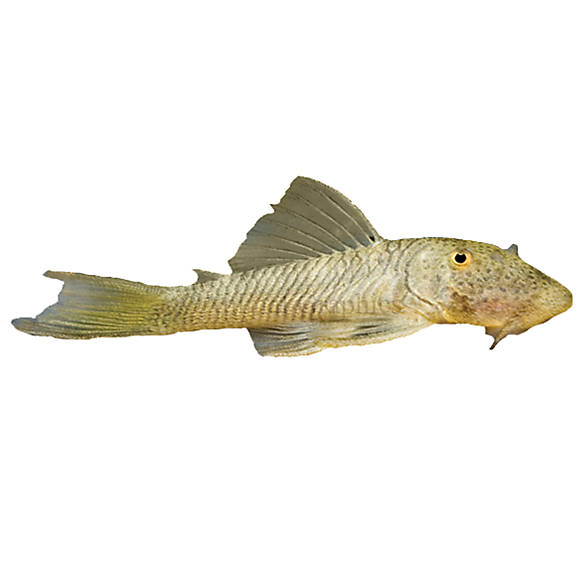Rubber lip plecostomus fish goldfish betta more for How much are fish at petsmart