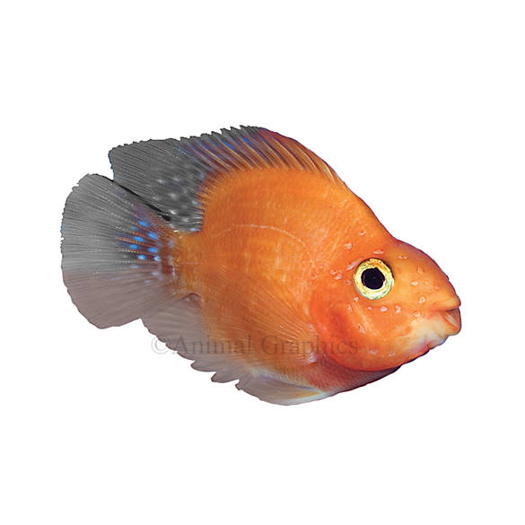 Blood red parrot cichlid fish goldfish betta more for Beta fish water temp