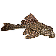 High Fin Spotted Plecostomus