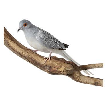 Diamond Dove Bird Conure Parakeets More Petsmart