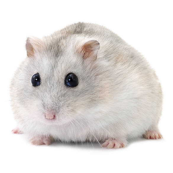Russian Dwarf Hamster | small pet Hamsters, Guinea Pigs ...