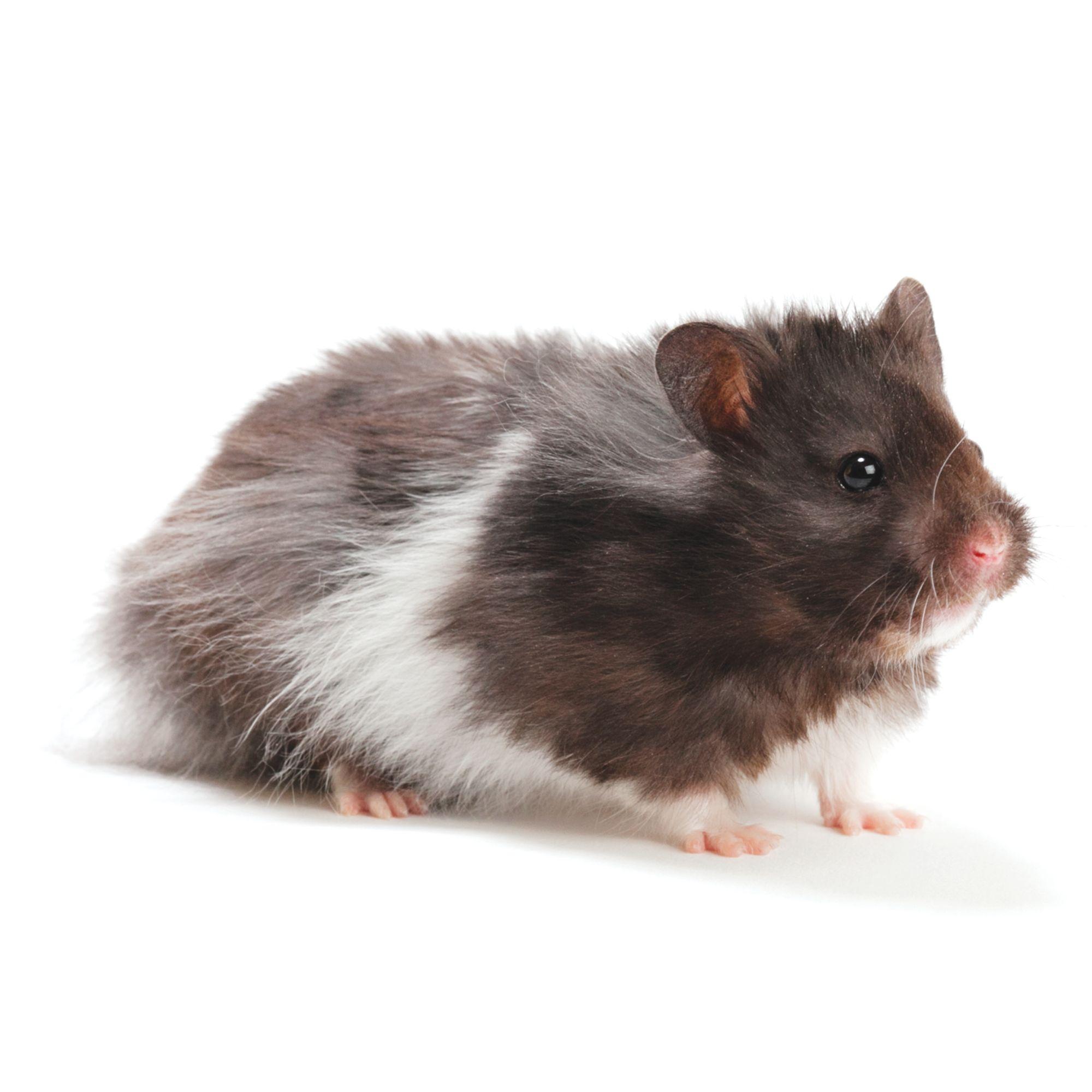 Long Haired Hamster Petsmart 3