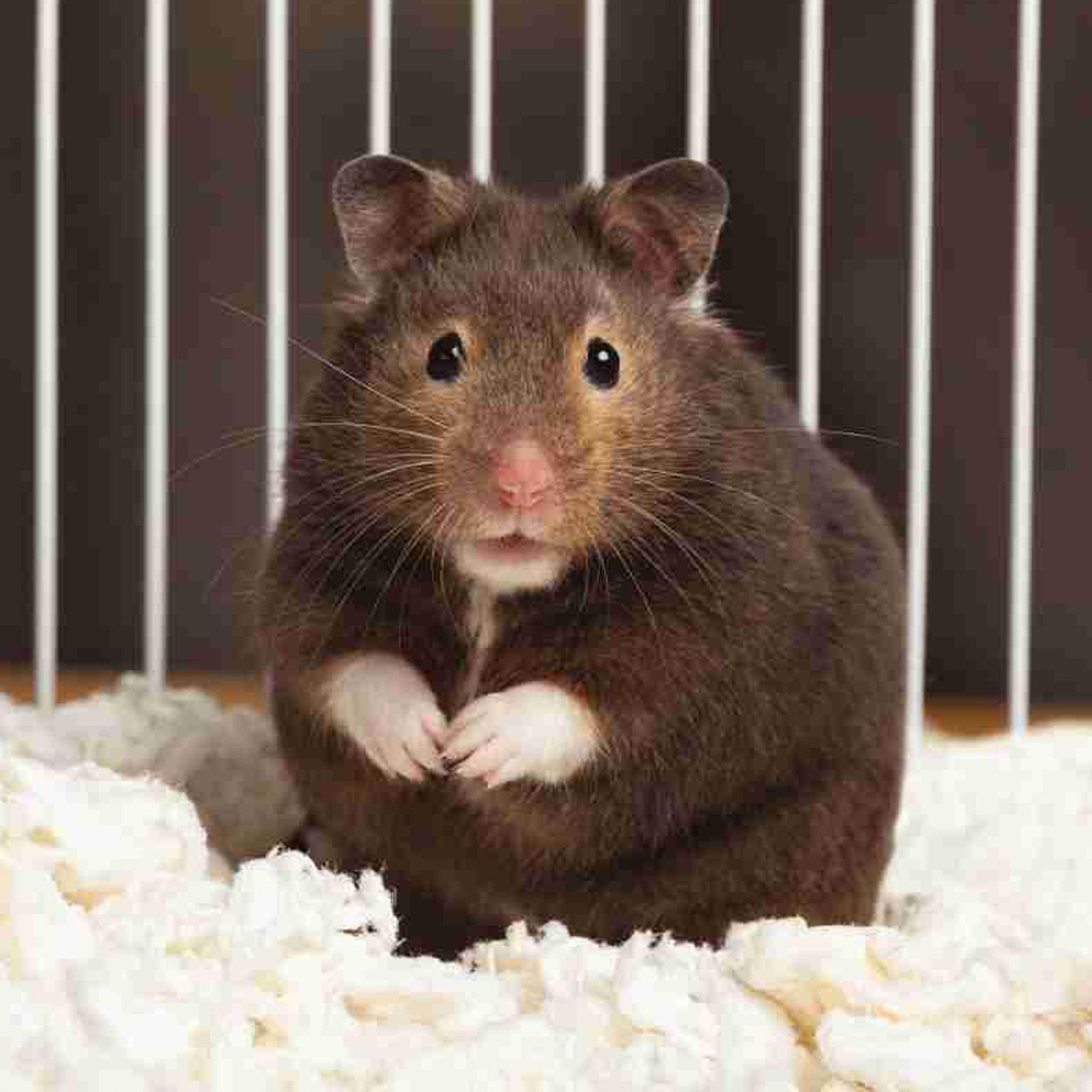 Long Haired Hamster Petsmart 9