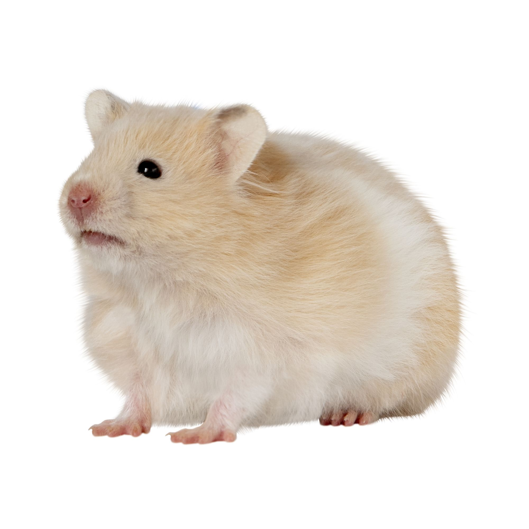 Long Haired Hamster Colors 58