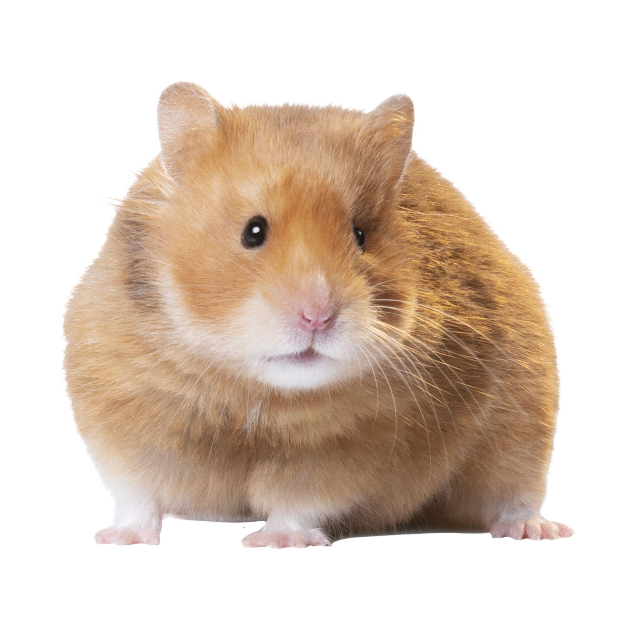 Long Haired Hamster Petsmart 5