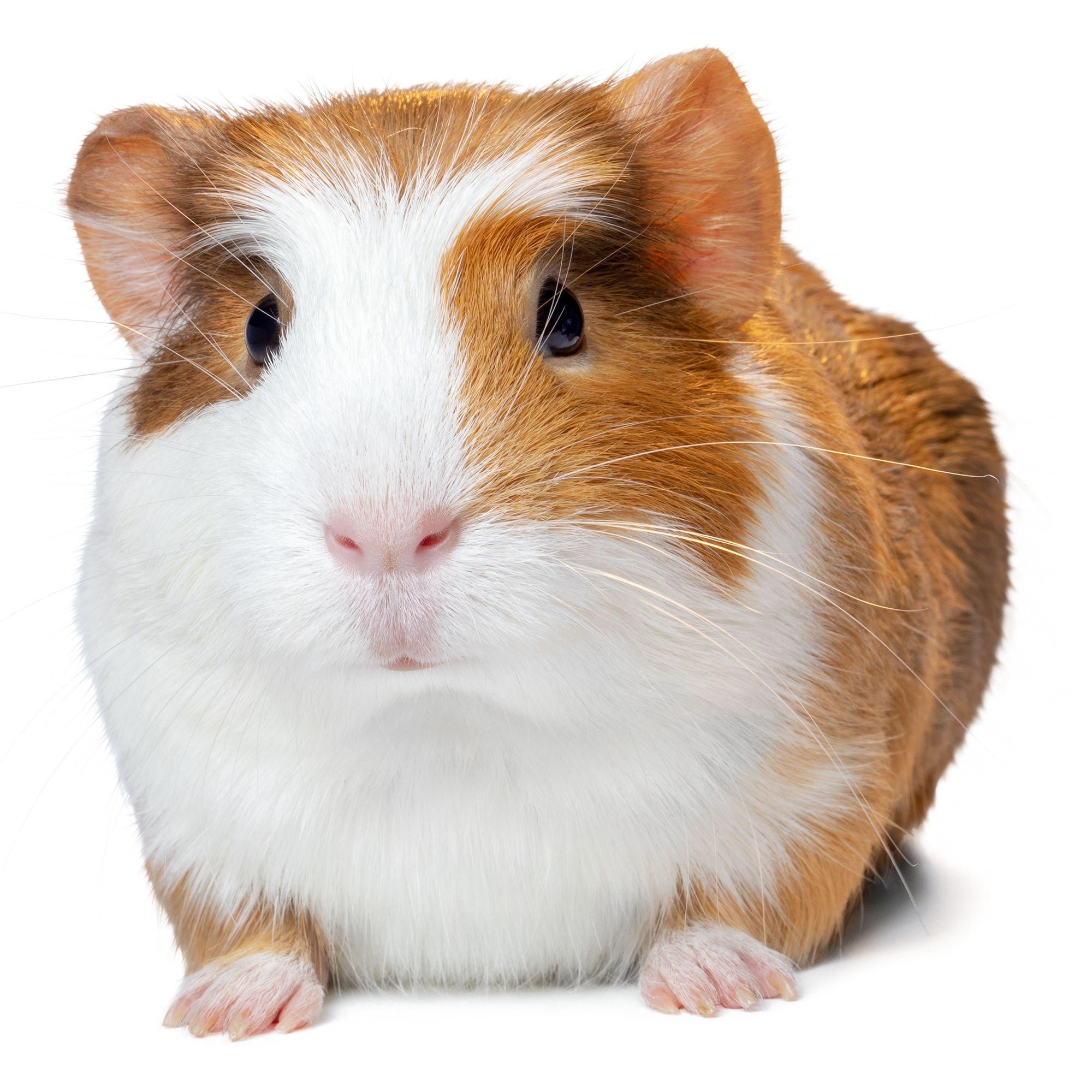 Male Guinea Pig For Sale | Live Small Pets | PetSmart