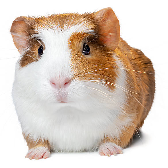 petsmart hamsters prices - 585×585