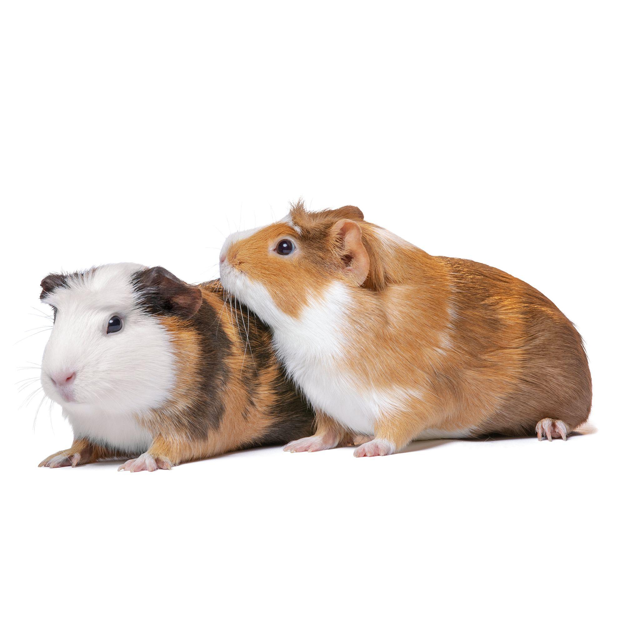 Male Guinea Pig For Sale Live Small Pets Petsmart