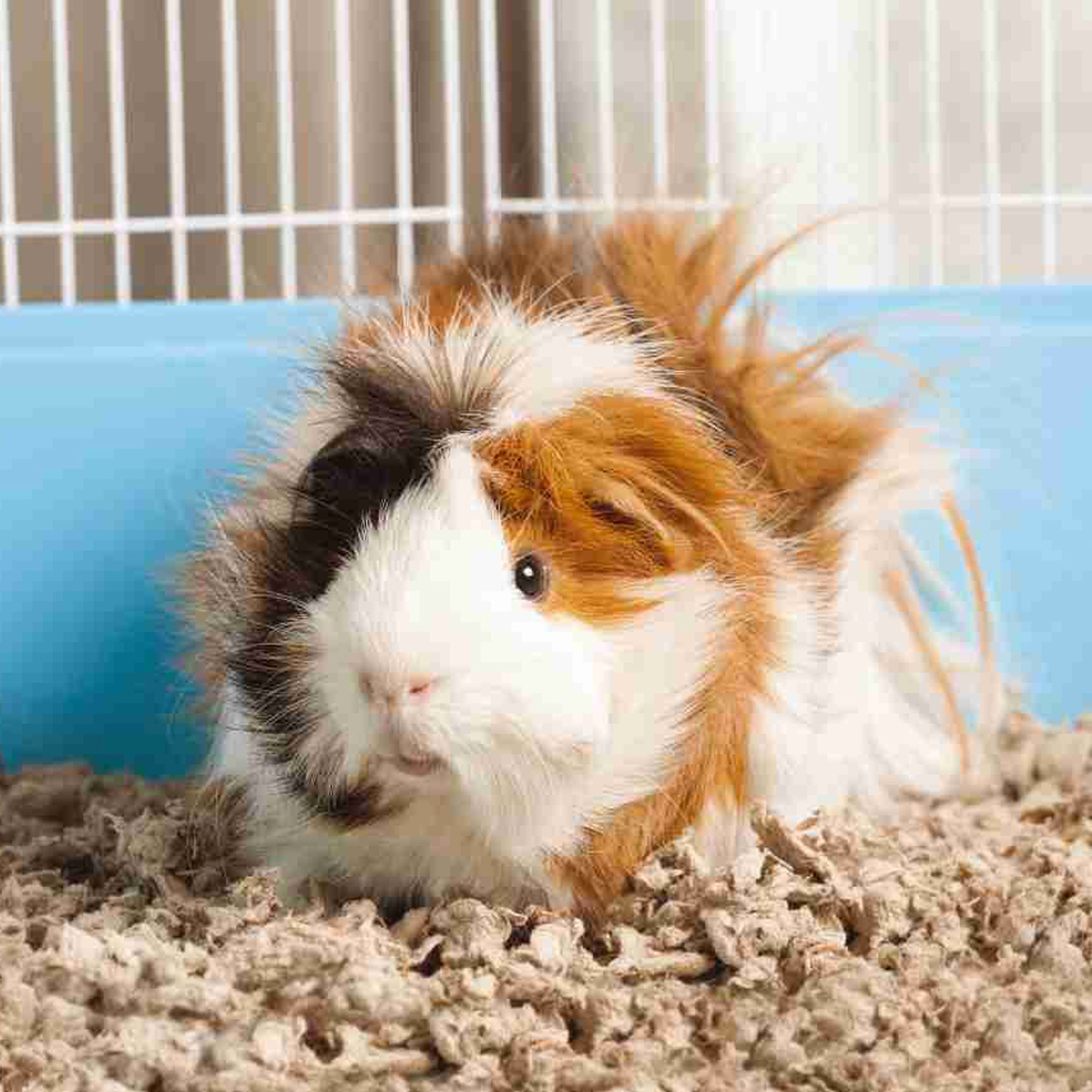 Male Guinea Pig For Sale | Live Small Pets | PetSmart