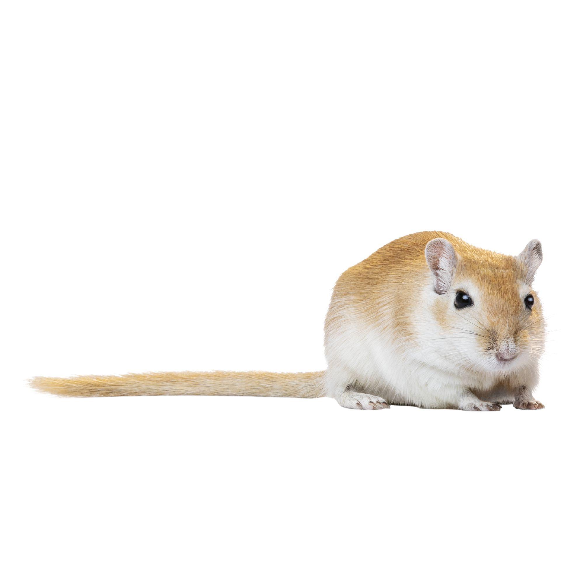 Gerbil Small Pet Hamsters Guinea Pigs More Petsmart